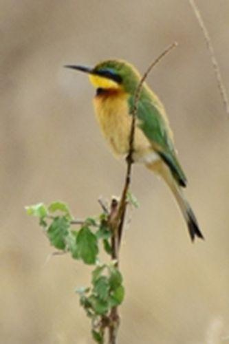 Little Bee-eater - Merops pusillus  - Ngorongoro NP Tanzania D800 188 11-19-14CE.jpg