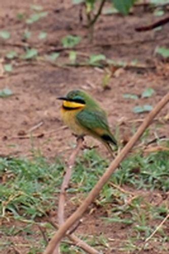 Little Bee-eater - Merops pusillus - Lake Manyara NP Tanzania D2X 085 11-14-14CE.jpg