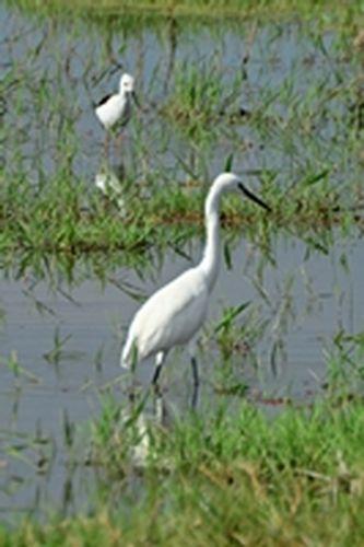 Little Egret - Egretta garzetta - Amboseli NP Kenya D800 126 11-12-14CE.jpg