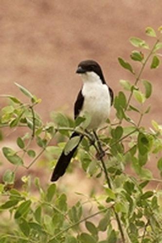 Long-tailed Fiscal Shrike - Lanius cabanisi - Amboseli NP Kenya D2X  049 11-11-14CE.jpg