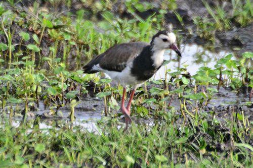 Long-toed Lapwing - Vanellus crassirostris - Amboseli NP Kenya D800 030 11-12-14CE.jpg