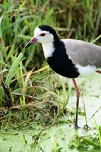 Long-toed Lapwing - Vanellus crassirostris - Amboseli NP Kenya D800 089 11-12-14E.jpg