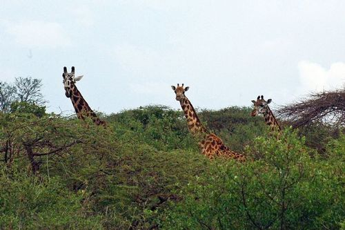 Maasai giraffe - Giraffa camelopardalis tippelskirchi - Tsavo NP Kenya D2X  104 11-12-14CE.jpg
