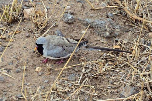 Male Namaqua Dove - Oena capensis - Amboseli NP Kenya D800 090 11-11-14CE.jpg