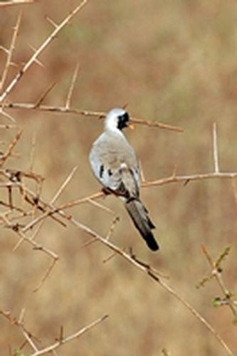 Male Namaqua Dove - Oena capensis - Tsavo NP Kenya D2X 107 11-12-14CE.jpg