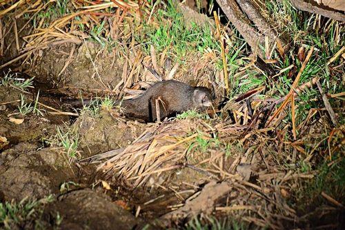 Marsh Mongoose - Atilax paludinosus - Tsavo West NP Kenya D800 384 11-12-14E.jpg