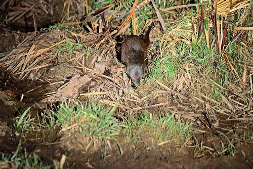 Marsh Mongoose - Atilax paludinosus - Tsavo West NP Kenya D800 393 11-12-14E.jpg