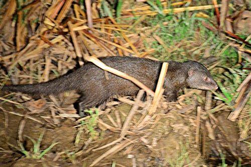 Marsh Mongoose - Atilax paludinosus - Tsavo West NP Kenya D800 397 11-12-14CE.jpg