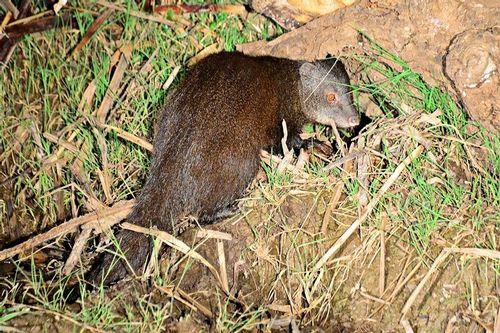 Marsh Mongoose - Atilax paludinosus - Tsavo West NP Kenya D800 400 11-12-14CE.jpg
