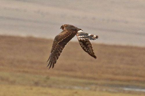 Montagus Harrier - Circus pygargus - Ngorongoro NP Tanzania D2X 154 11-19-14CE.jpg