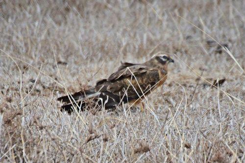 Montagus Harrier - Circus pygargus - Ngorongoro NP Tanzania D800 254 11-18-14CE.jpg