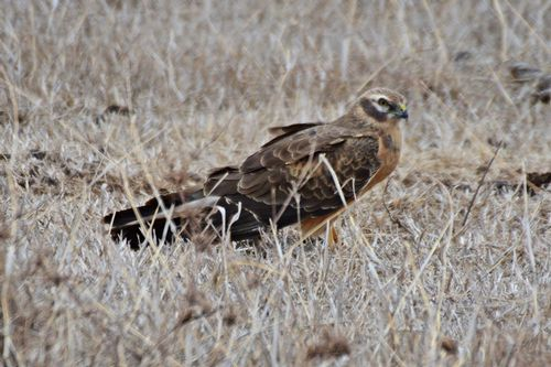 Montagus Harrier - Circus pygargus - Ngorongoro NP Tanzania D800 262 11-18-14CE.jpg
