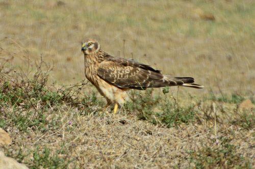 Montagus Harrier - Circus pygargus - Ngorongoro NP Tanzania D800 355 11-18-14CE.jpg