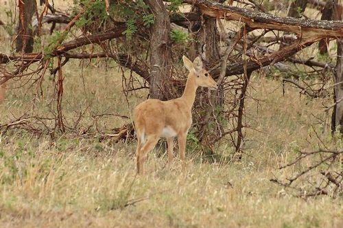 Mountain Reedbuck - Redunca fulvorufula - Serengeti NP Tanzania D2X 029 11-15-14CE.jpg