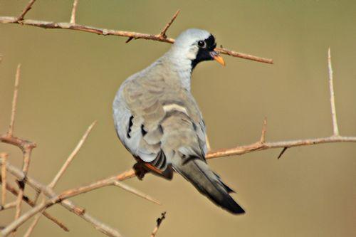 Namaqua Dove - Oena capensis - Tsavo West NP Kenya D800 259 11-12-14CE.jpg