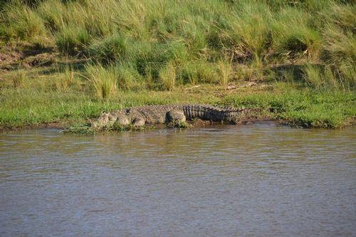 Nile Crocodile - Crocodylus niloticus - Masai Mara NP Kenya D5200 146 11-8-14.jpg