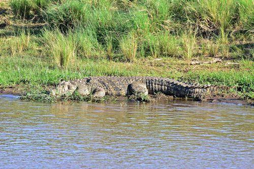 Nile Crocodile - Crocodylus niloticus - Masai Mara NP Kenya D800 122 11-8-14CE.jpg