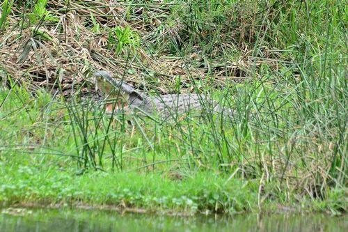 Nile crocodile -  Crocodylus niloticus - Tsavo West D800 200 11-12-14CE.jpg