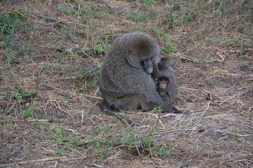 Olive Baboon - Papio anubis - Ngorongoro NP Tanzania D5200 070 11-18-14.jpg