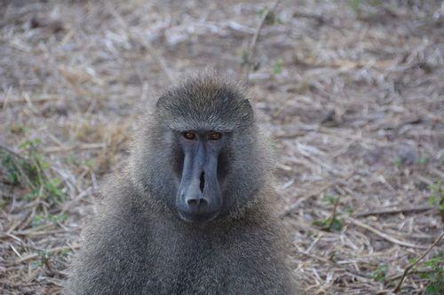 Olive Baboon - Papio anubis - Ngorongoro NP Tanzania D5200 097 11-18-14.jpg