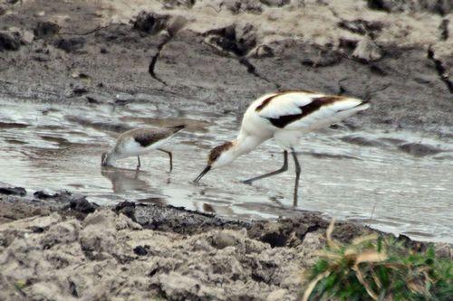 Pied Avocet - Recurvirostra avosetta - Amboseli NP Kenya D800 221 11-11-14CE.jpg