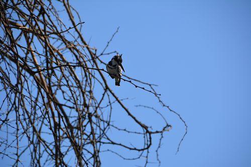 Pied Kingfisher - Ceryle rudis - Lake Navashia NP Kenya D5200 140 11-7-14.jpg