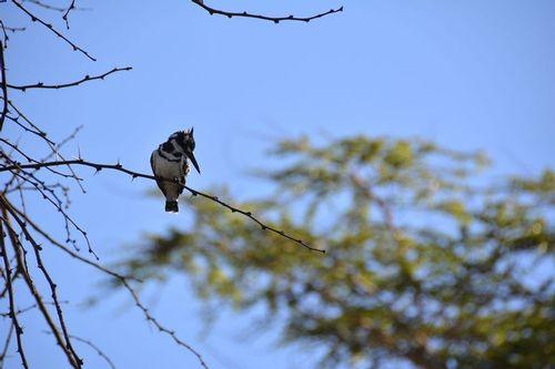 Pied Kingfisher - Ceryle rudis - Lake Navashia NP Kenya D5200 146 11-7-14.jpg