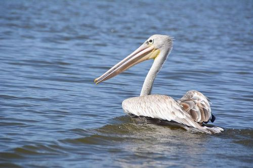 Pink-backed Pelican - Pelecanus rufescens - Lake Navashia D5200 420 11-7-14.jpg