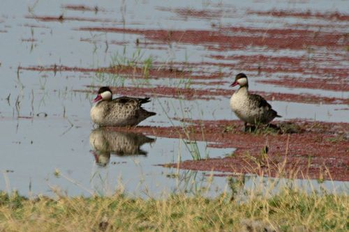 Red-billed Duck - Anas erythrorhyncha - Amboseli NP Kenya D800 140 11-12-14CE.jpg
