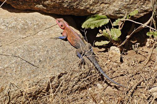 Red-headed Agama - Agama agama - Serengeti NP Tanzania D2X 060 11-17-14E.jpg