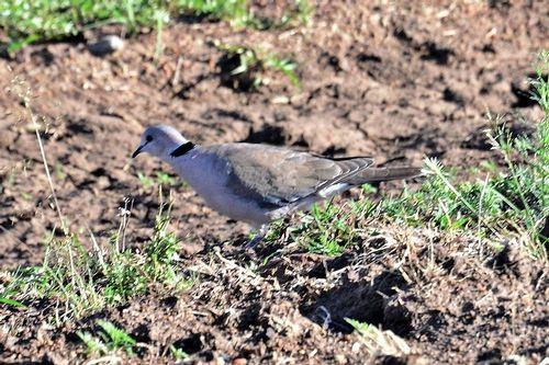 Ring-necked Dove - Streptopelia capicola - Masai Mara NP Kenya D800 118 11-8-14CE.jpg