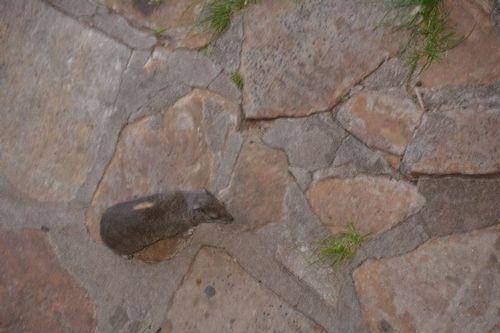 Rock Hyrax - Procavia capensis - Serengeti NP Tanzania D5200 003 11-15-14.jpg