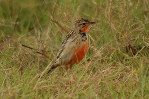 Rosy-throated Longclaw - Macronyx ameliae - Amboseli NP Kenya D2X  096 11-11-14CE.jpg