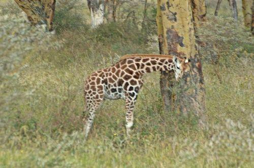 Rothschilds Giraffe - Giraffa camelopardalis rothschildi - Lake Nakuru D2X 115 11-6-14E.jpg