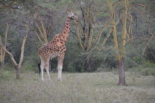 Rothschilds Giraffe - Giraffa camelopardalis rothschildi - Lake Nakuru D5200 045 11-6-14.jpg