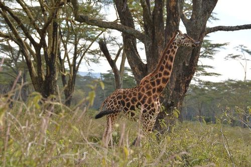 Rothschilds Giraffe - Giraffa camelopardalis rothschildi - Lake Nakuru D5200 103 11-6-14.jpg