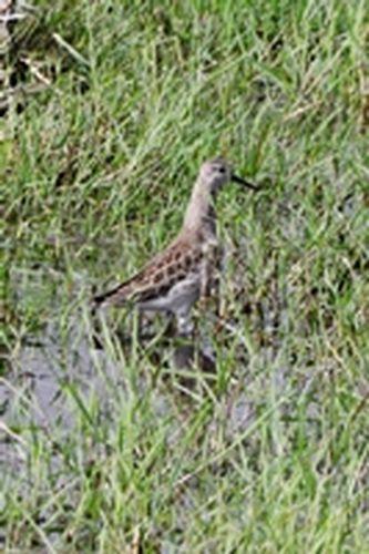 Ruff - Philomachus pugnax - Amboseli NP Kenya D800  128 11-12-14CE.jpg