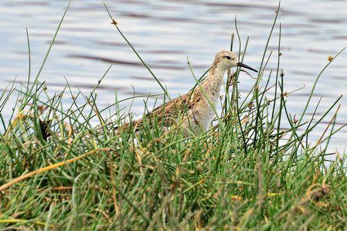 Ruff - Philomachus pugnax - Lake Nakuru NP Kenya D800 284 11-6-14CE.jpg
