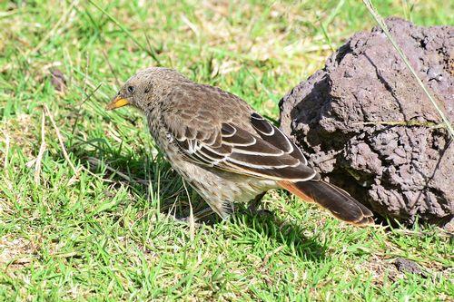 Rufous-tailed Weaver - Histurgops ruficaudus - Ngorongoro Tanzania D800 044 11-18-14CE.jpg