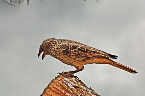 Rufous-tailed Weaver - Histurgops ruficaudus - Serengeti NP Tanzania D2X 096 11-16-14E.jpg