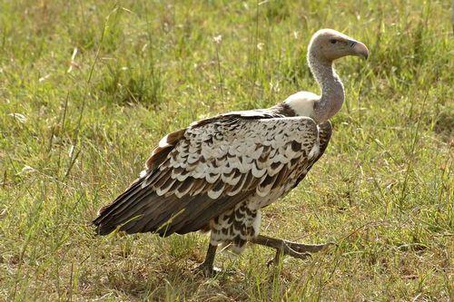 Ruppells Griffon Vulture - Gyps rueppellii -  Masai Mara NP Kenya D2X 312 11-8-14CE.jpg