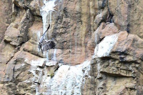 Ruppells Griffon Vulture - Gyps rueppellii - Hells Gate NP Kenya 330 11-6-14CE.jpg