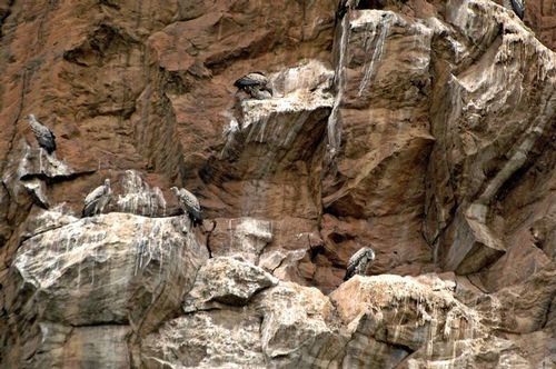 Ruppells Griffon Vulture - Gyps rueppellii - Hells Gate NP Kenya D2X 202 11-6-14E.jpg