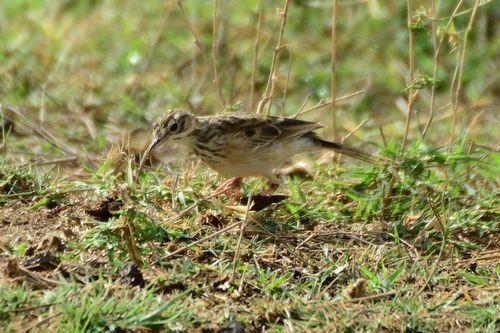 Short-tailed Lark - Pseudalaemon fremantlii - Tsavo West NP D800 131 11-12-14CE.jpg