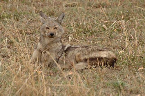 Side-striped Jackal - Canis adustus - Serengeti NP Tanzania D2X 017 11-15-14CE.jpg