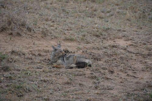 Side-striped Jackal - Canis adustus - Serengeti NP Tanzania D5200 040 11-15-14.jpg
