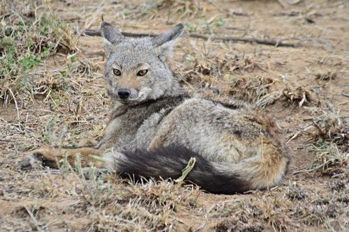 Side-striped Jackal - Canis adustus - Serengeti NP Tanzania D800 036 11-15-14CE.jpg
