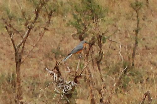 Silverbird - Empidornis semipartitus - Serengeti NP Tanzania D2X 074 11-16-14CE.jpg