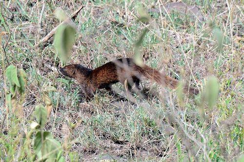 Slender Mongoose - Herpestes sanguineus - Lake Nakuru NP Kenya D800 105 11-6-14CE.jpg