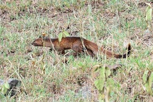 Slender Mongoose - Herpestes sanguineus - Lake Nakuru NP Kenya D800 110 11-6-14CE.jpg